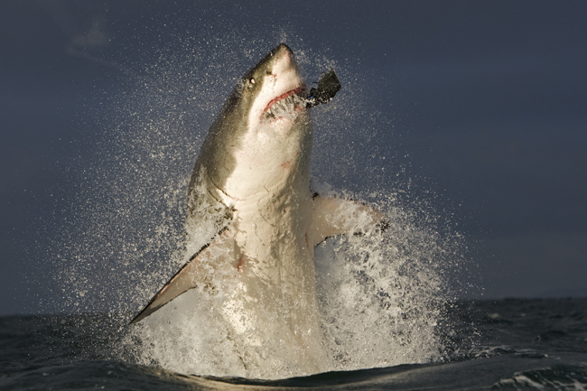 GREAT WHITE SHARK VIEWING