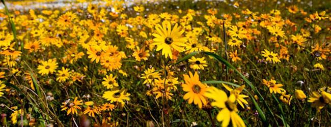 Clanwilliam Wildflower Show