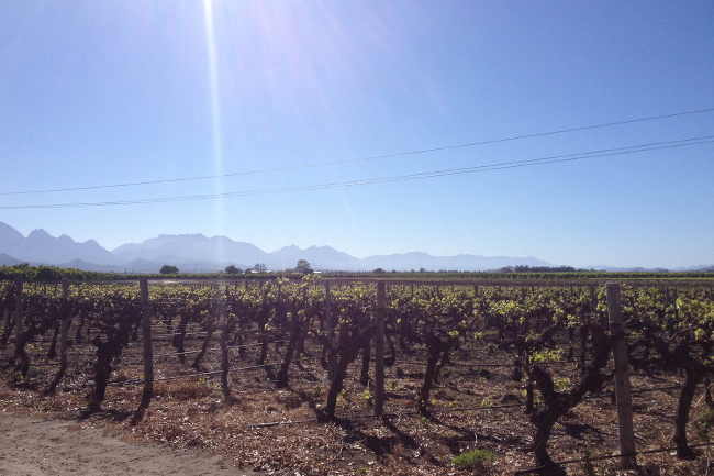 The vines looking out towards Worcester, already showing signs that summer is on the way