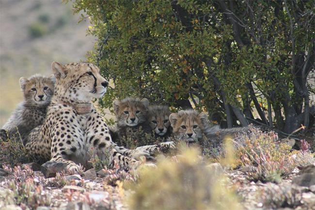 Sanbona-cheetahs-2