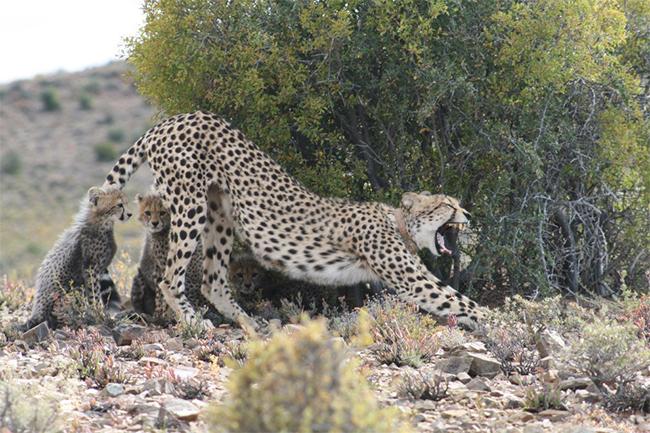 Sanbona-cheetahs