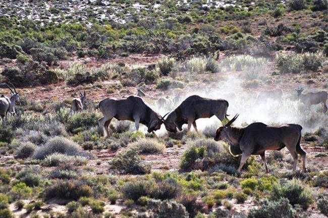 Sanbona-eland bulls