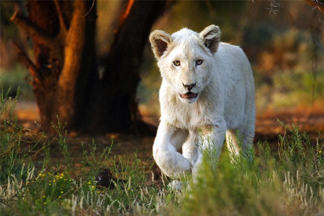 Sanbona-young-white-lion