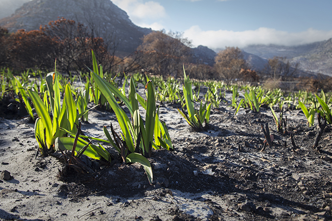 NEW LIFE AFTER THE CAPE FIRE