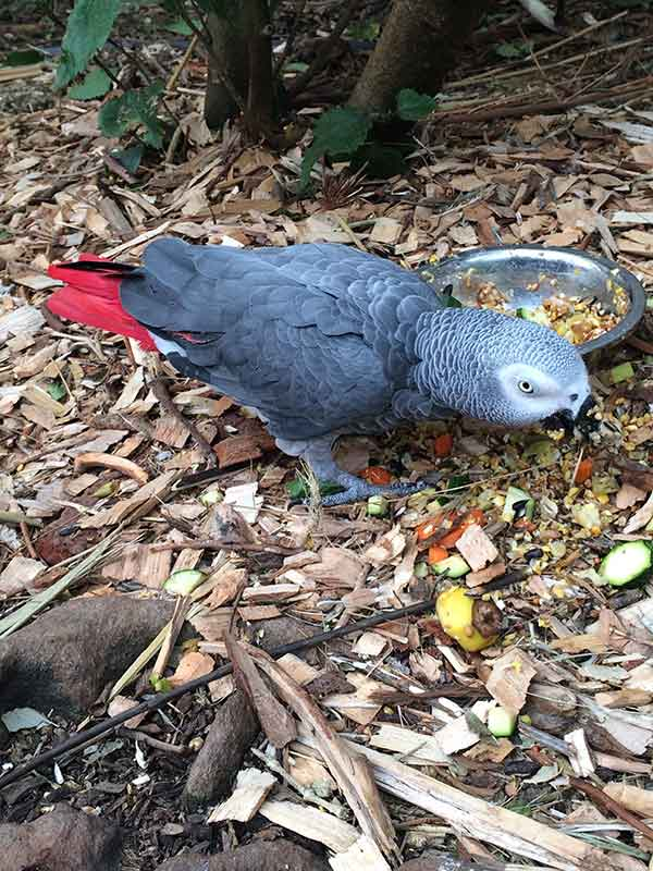 Butterfly-World-African-grey