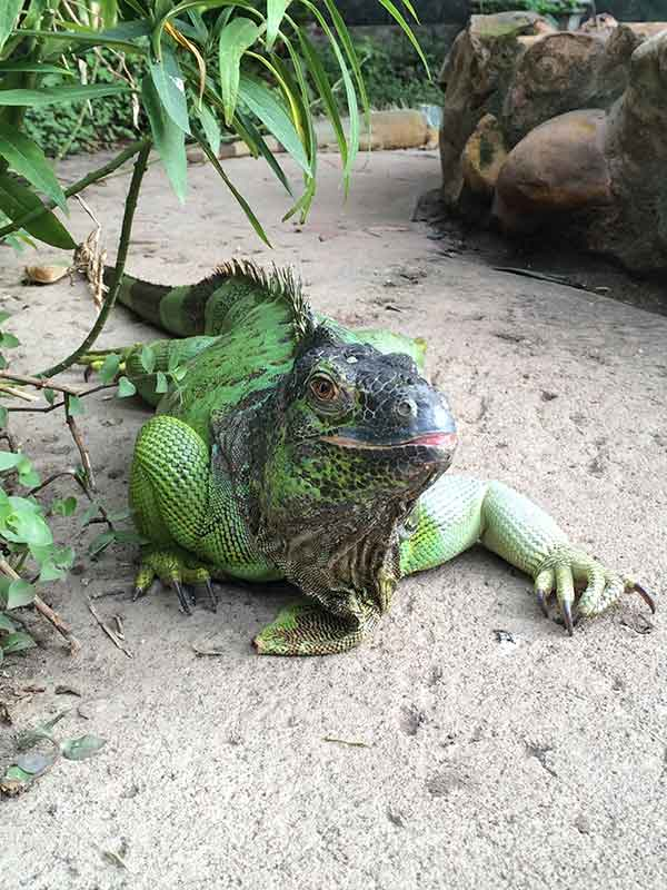 Butterfly-World-iguana