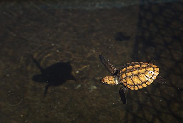 baby loggerhead turtle 2