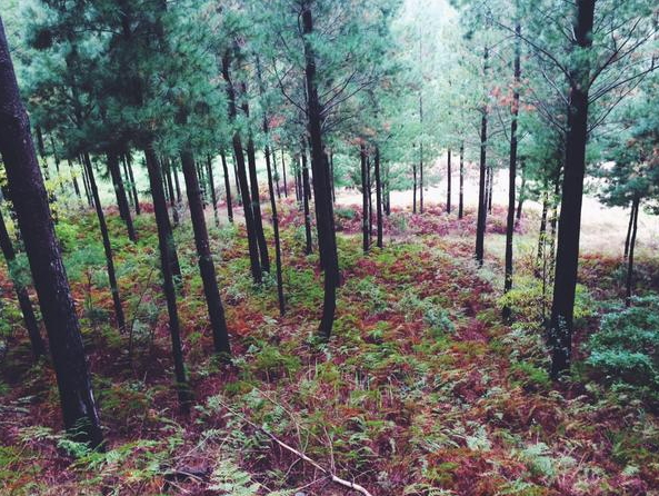 delheim pine forest
