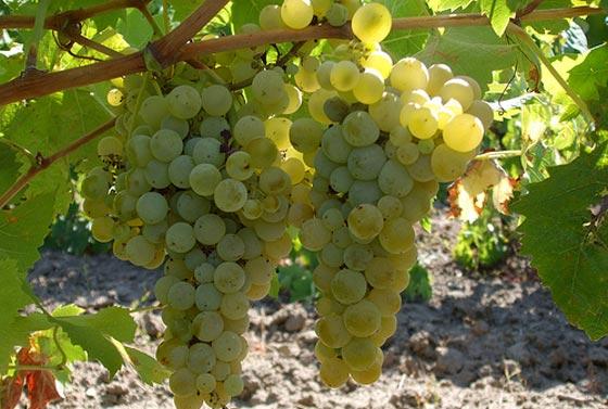 Bukettraube grapes