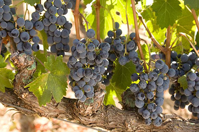 5 UNUSUAL GRAPE VARIETALS GROWN IN THE CAPE WINELANDS