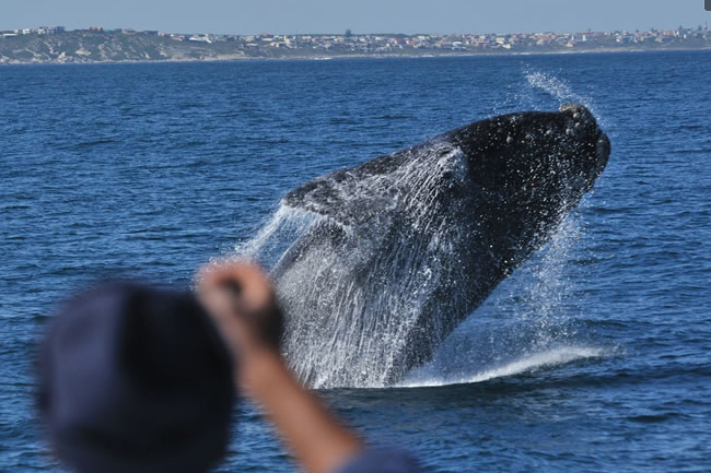 SPOTTING WHALES WITH SOUTHERN RIGHT CHARTERS