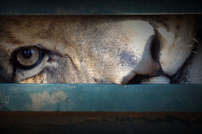 BLOOD LIONS: LIFTING THE LID ON CANNED HUNTING