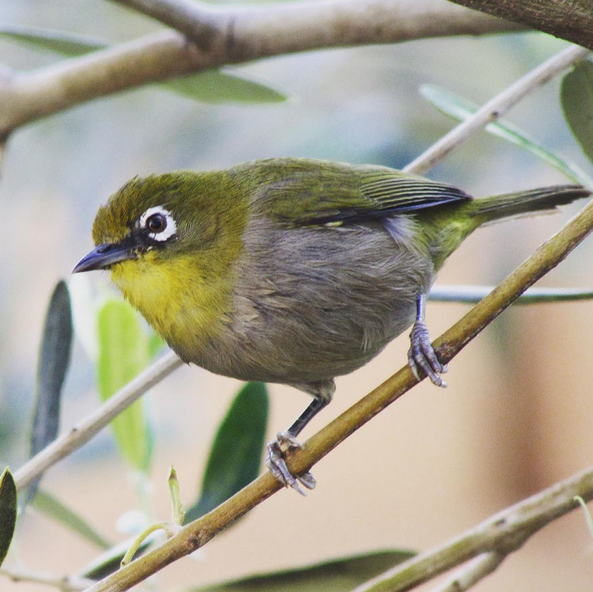 Cape White-eye by Beverley Klein