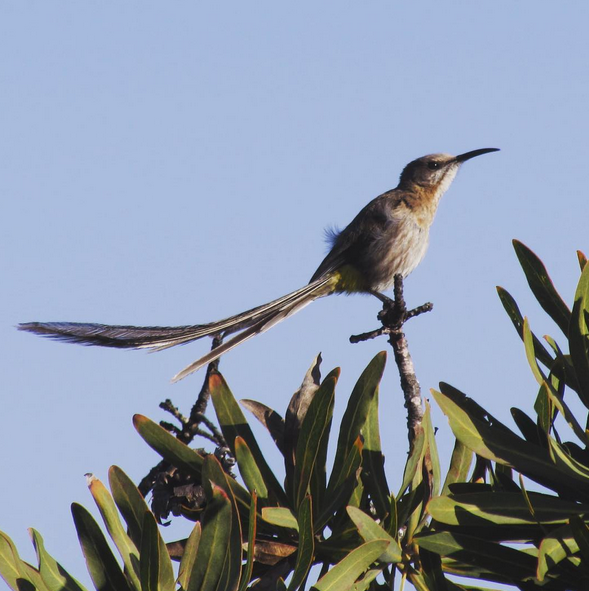 Cape Sugarbird by Beverley Klein