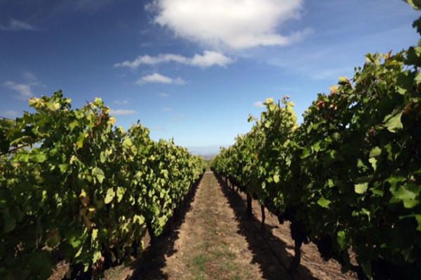 De-Toren-Z-Vineyard-planted-in-the-direction-of-the-wind
