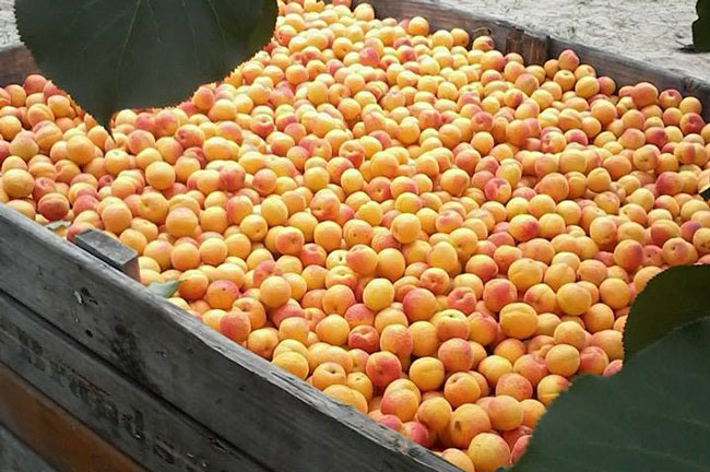 APRICOT PICKING IN CALITZDORP