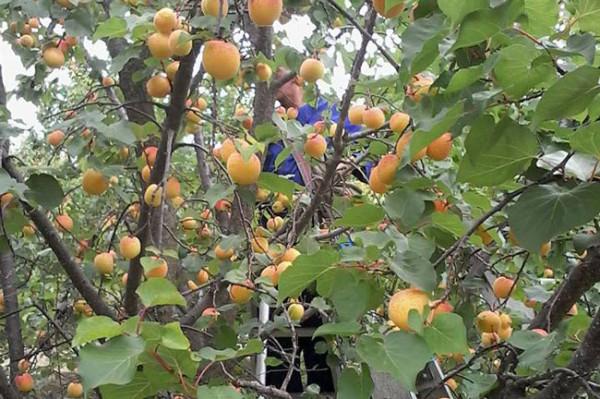 apricot-3