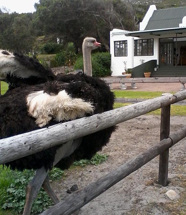just-walk-ostrich-