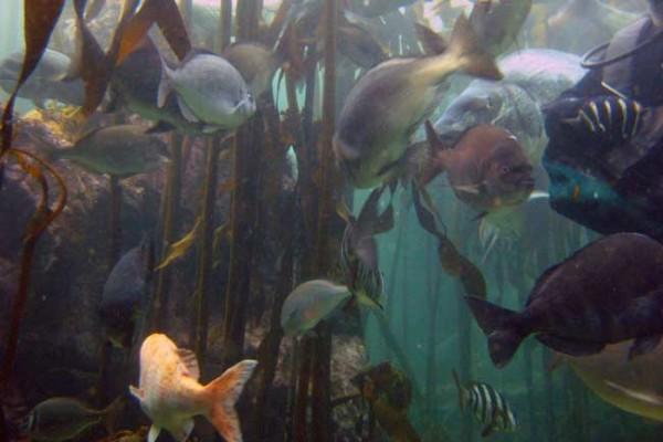 kelp2