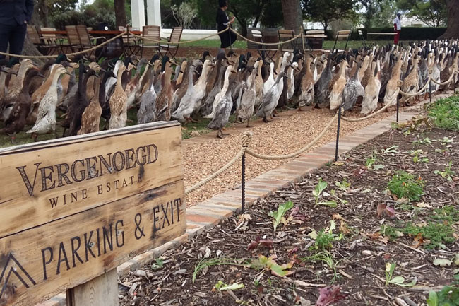 RED WINE AND RUNNING DUCKS AT VERGENOEGD WINE ESTATE