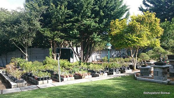 Bishopsford-bonsai-2