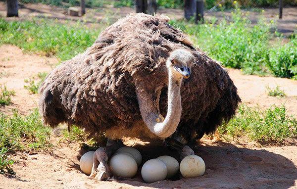 Kết quả hình ảnh cho Cape Town Ostrich Ranch