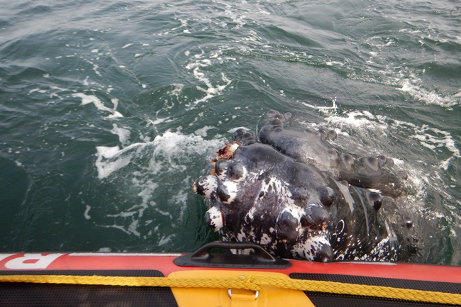 PICS: WHALE 'HUGS' BOAT AFTER BEING RESCUED