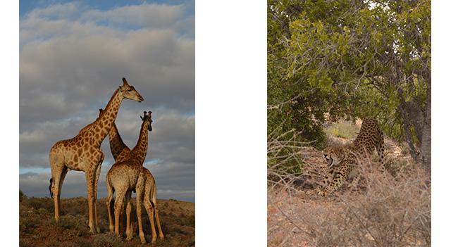 Sanbona giraffe and cheetah