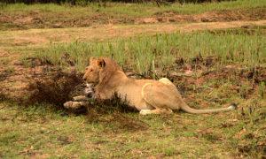 Sanbona lion