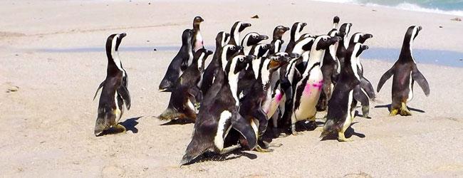 sanccob penguin festival