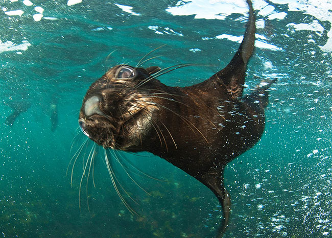 seal-snorkeling-with-Animal-ocean-facebook