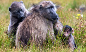 Tips For Dealing With The Baboons, Cape Town