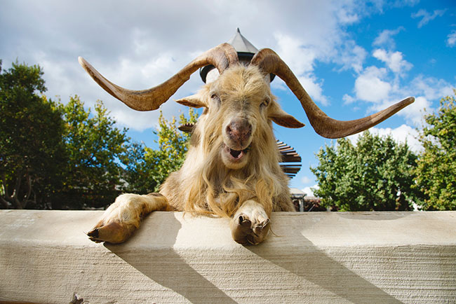 Fairview introduces SA's first skywalk and playpark for goats