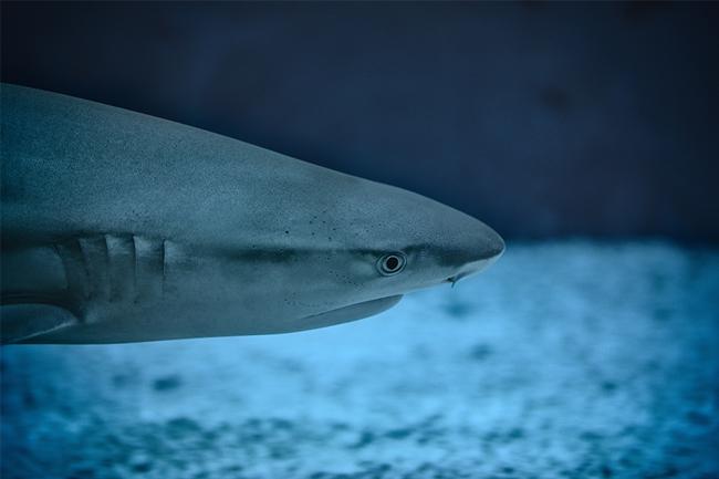 Sharks Cape Point