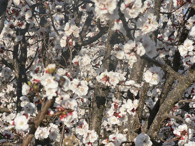 Full bloom in Spring at De Krans.