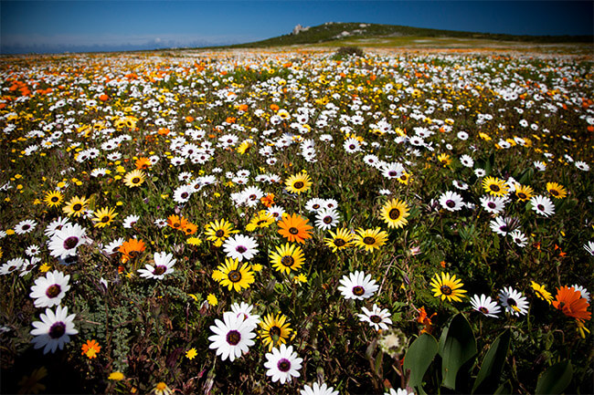 Your Guide To Viewing The Spring Flower Display In The Western Cape