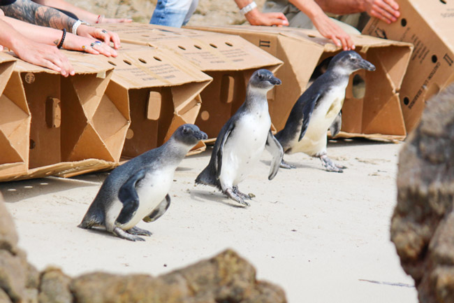 Waddle down to Betty's Bay to see the penguins off