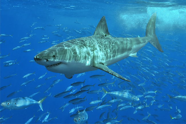 great white shark cape town