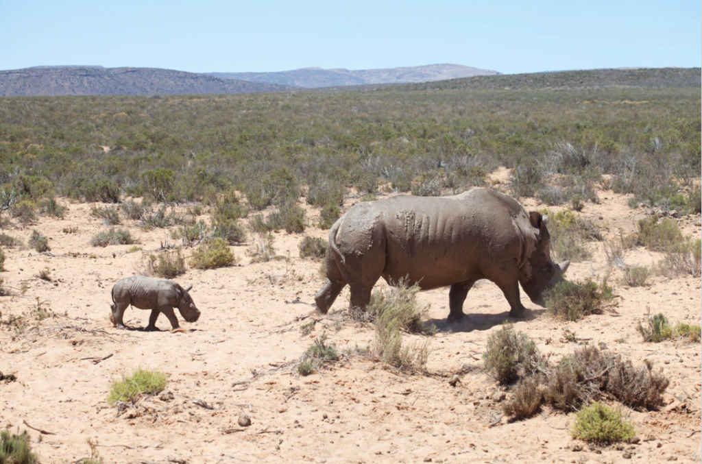 Surprise birth of white rhino at local game reserve