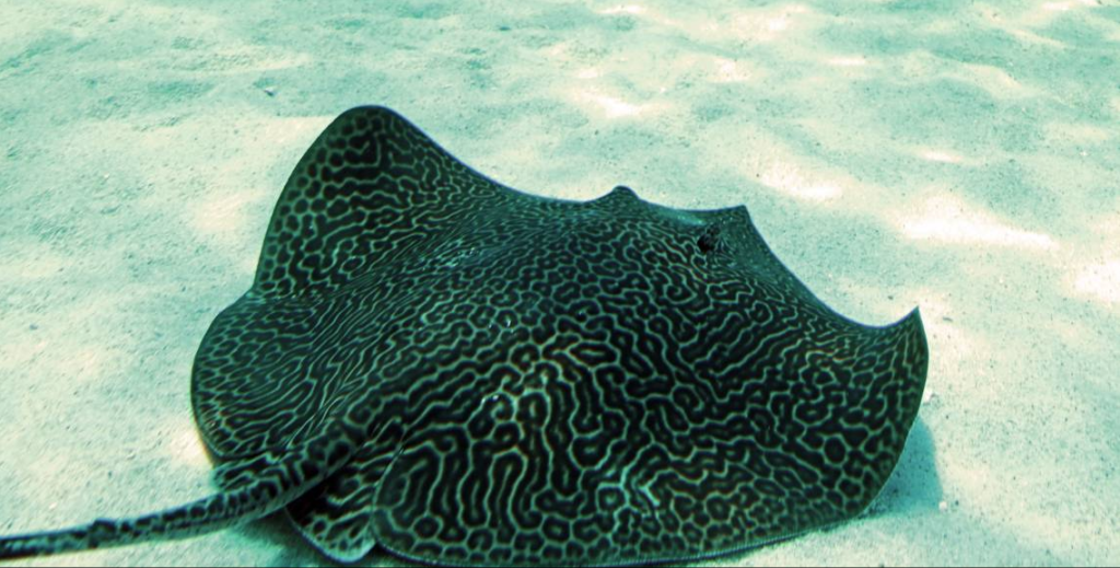 WATCH: Two Oceans welcomes new honeycomb stingray