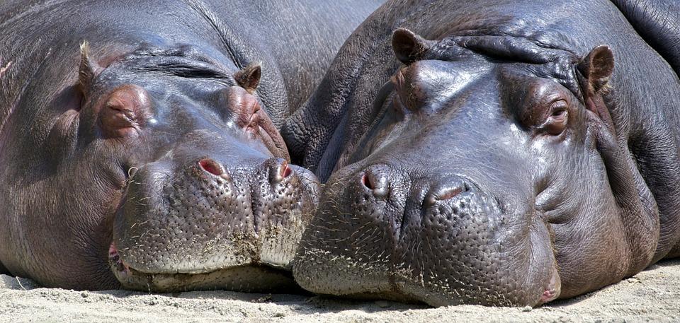 Hip-hippo hooray, it's National Hippo Day