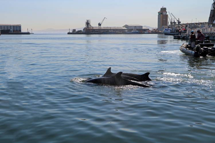 False killer whales being monitored