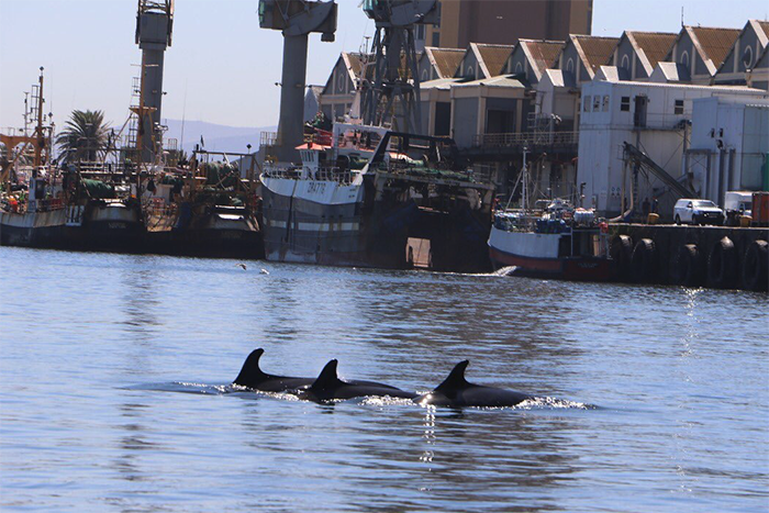 False killer whales surface at V&A Waterfront