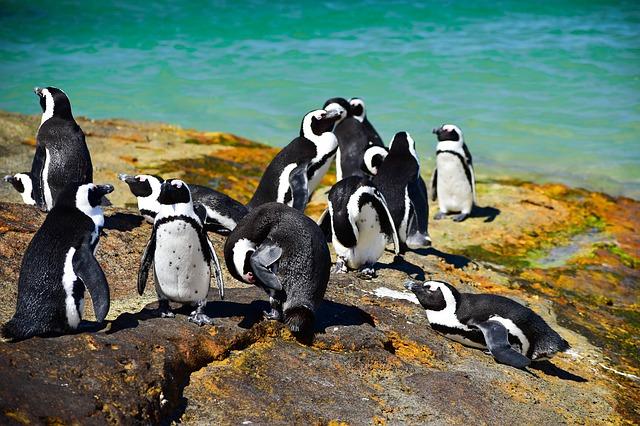 16 more penguins die at Boulders Beach