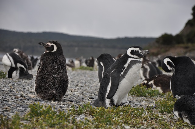 5 out of 5 penguins test positive for avian flu at Boulder's Beach