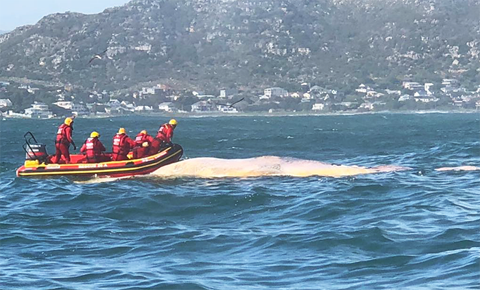 Whale carcass towed to Hout Bay
