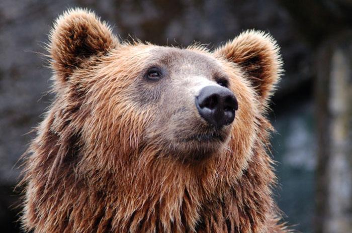 Russia has vuvuzela-playing bears