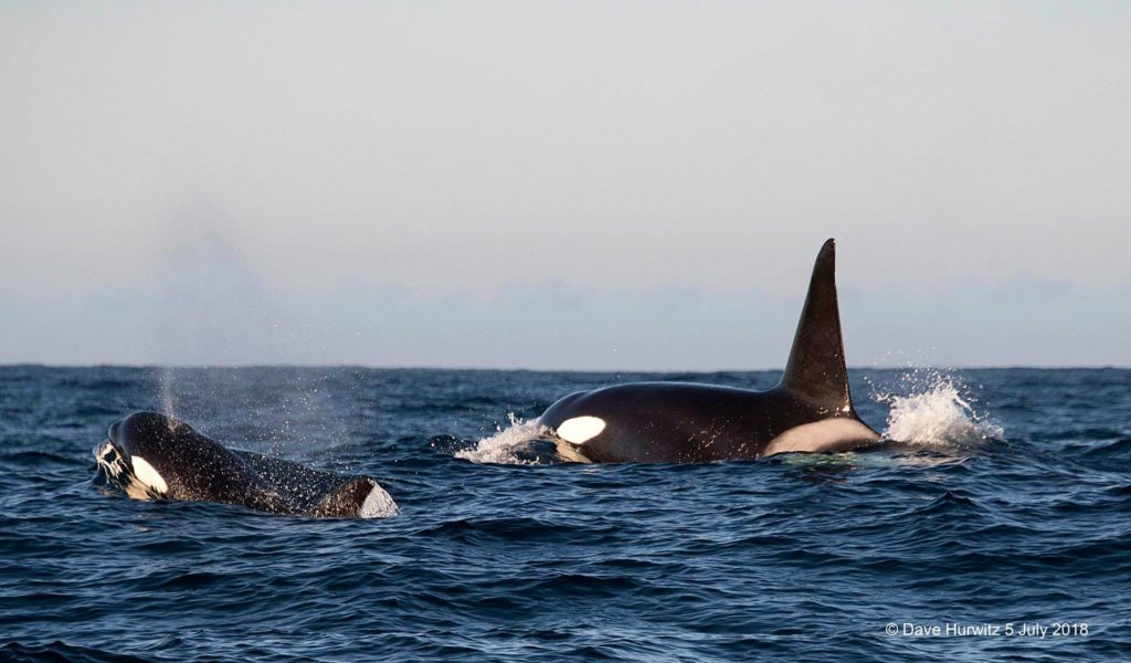 The Orcas are back in town