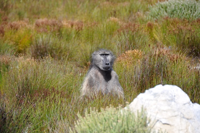Seven baboons killed in Constantia for raiding