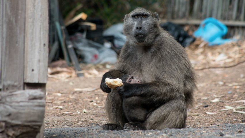 Farmers receive backlash after baboon killings